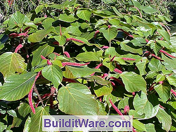 Acalypha Hispida - Chenille Plant, Foxtails