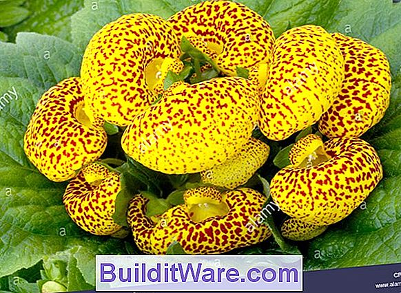 Calceolaria Herbeohybrida - Pocketbook Plant, Slipperwort