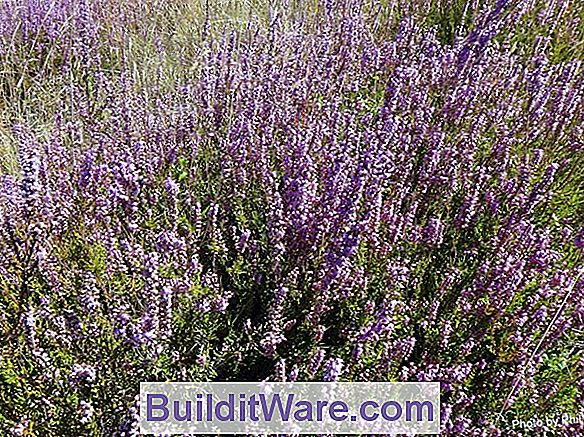 Calluna Vulgaris - Scotch Heather