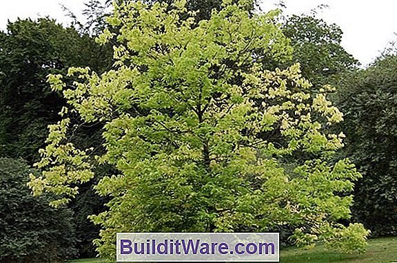 Celtis Occidentalis - Hackberry