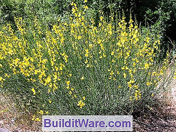 Cytisus Scoparius - Scotch Broom