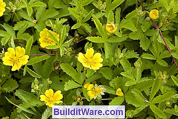 Potentilla Fruticosa - Bush Cinquefoil, Five Finger