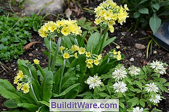 Primula Insekter
