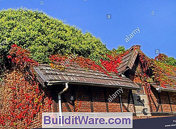Parthenocissus Tricuspidata - Boston-Efeu