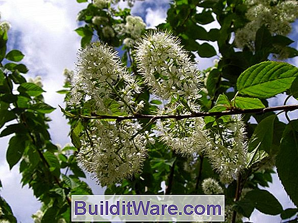 Prunus Maacki - Amur Chokecherry