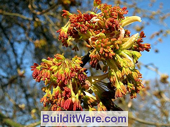 Acer Negundo - Boxelder, Ask Leaved Maple