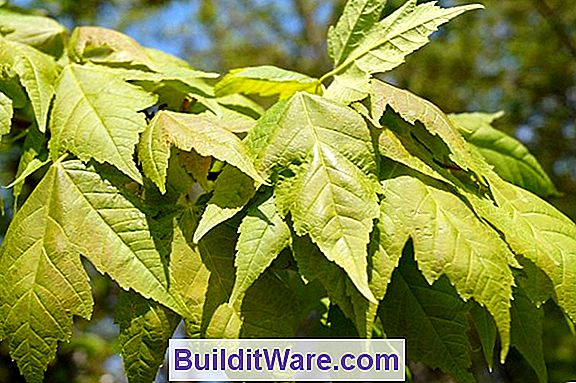 Acer Rubrum - Red Maple, Swamp Maple